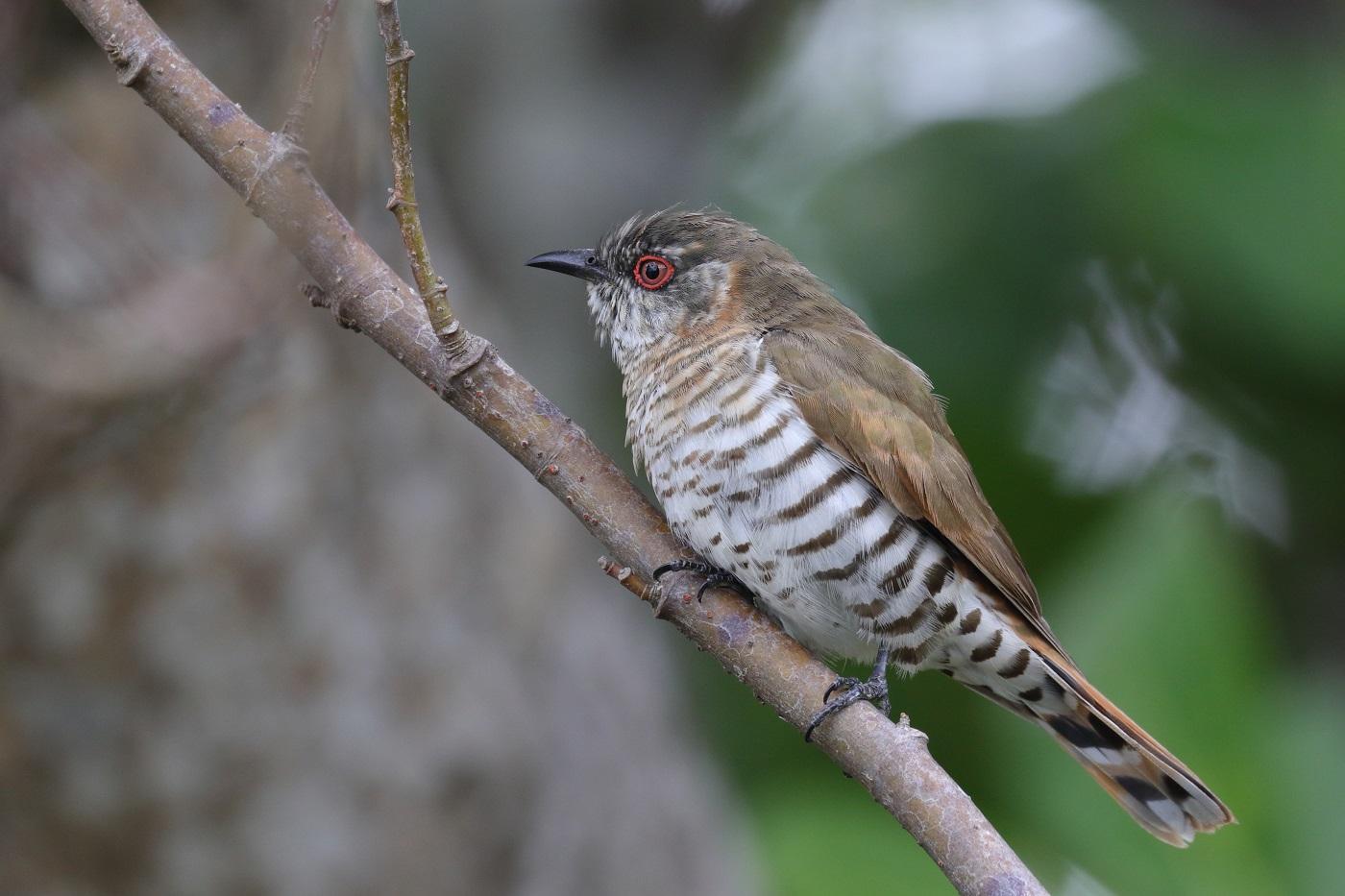 Little Bronze-Cuckoo (Image ID 33349)