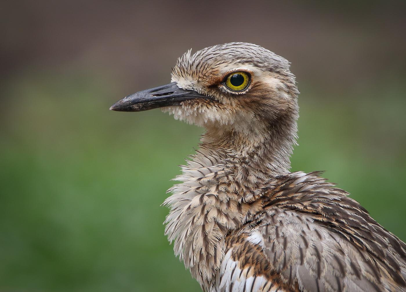 Bush Stone-curlew (Image ID 33755)