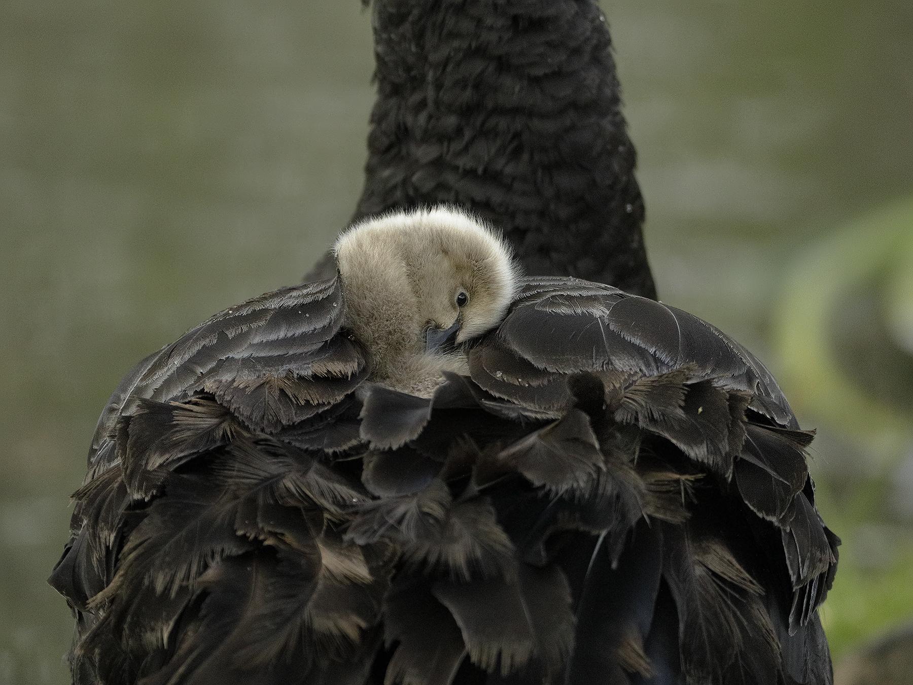 Black Swan (Image ID 33613)