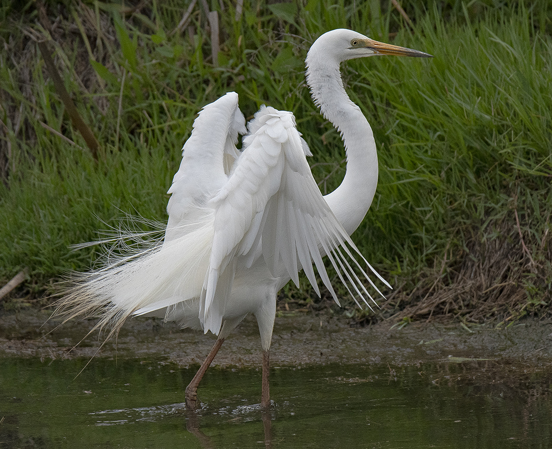 Great Egret (Image ID 33850)