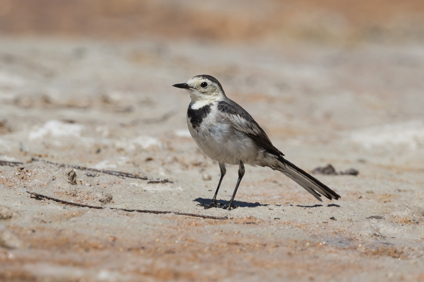 White Wagtail (Image ID 33716)