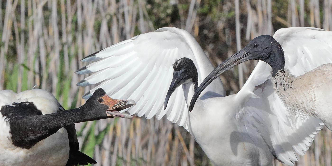 Australian White Ibis, Magpie Goose (Image ID 33660)