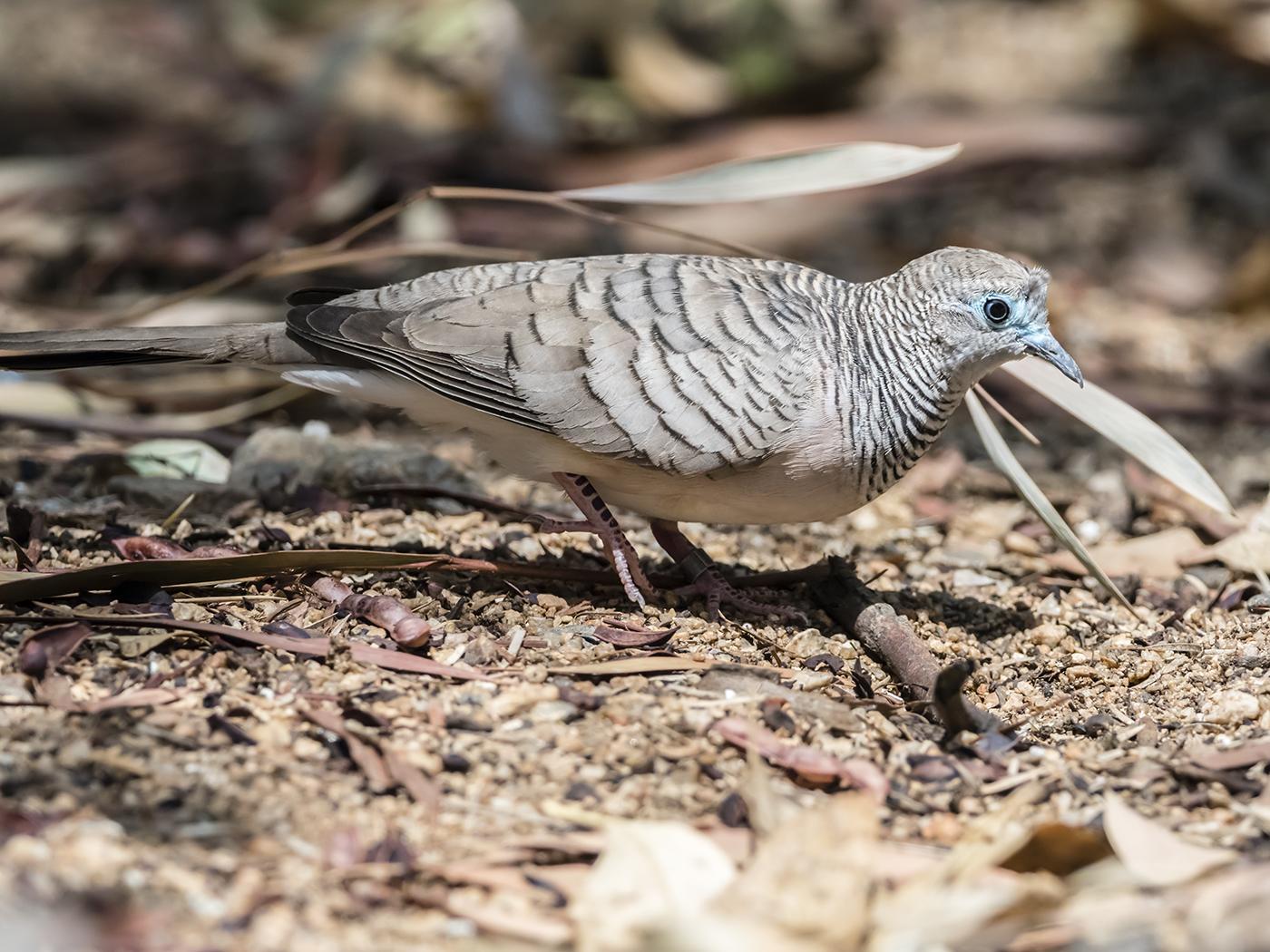 Peaceful Dove (Image ID 33754)
