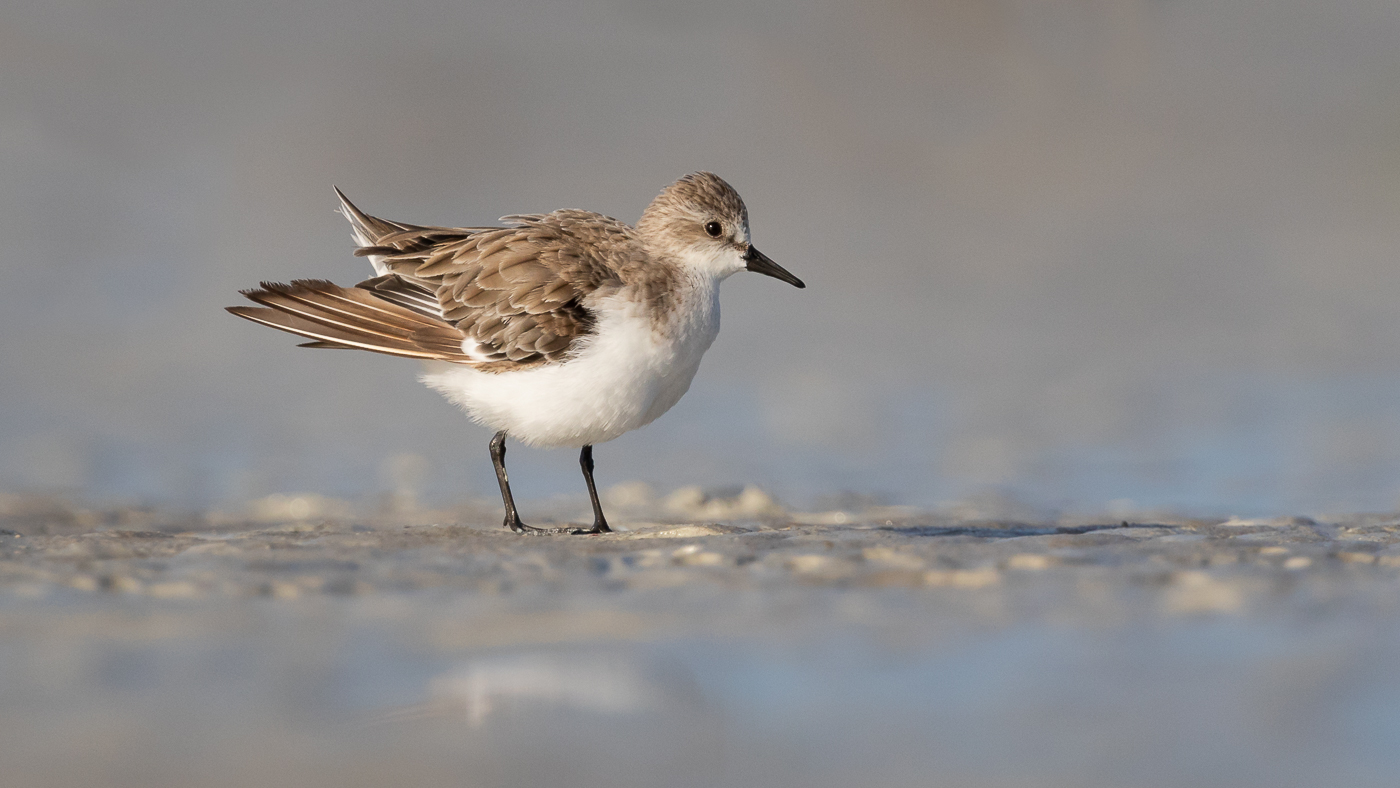Red-necked Stint (Image ID 33299)