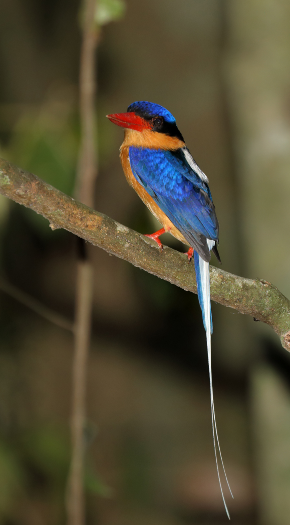 Buff-breasted Paradise-Kingfisher
