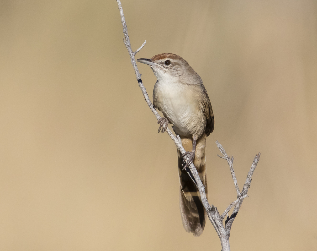 Spinifexbird (Image ID 33819)
