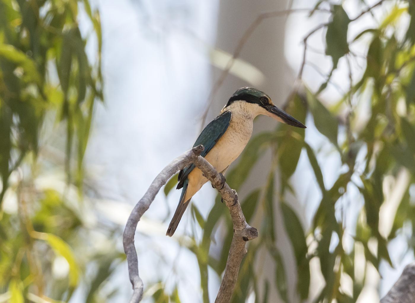 Sacred Kingfisher (Image ID 33645)