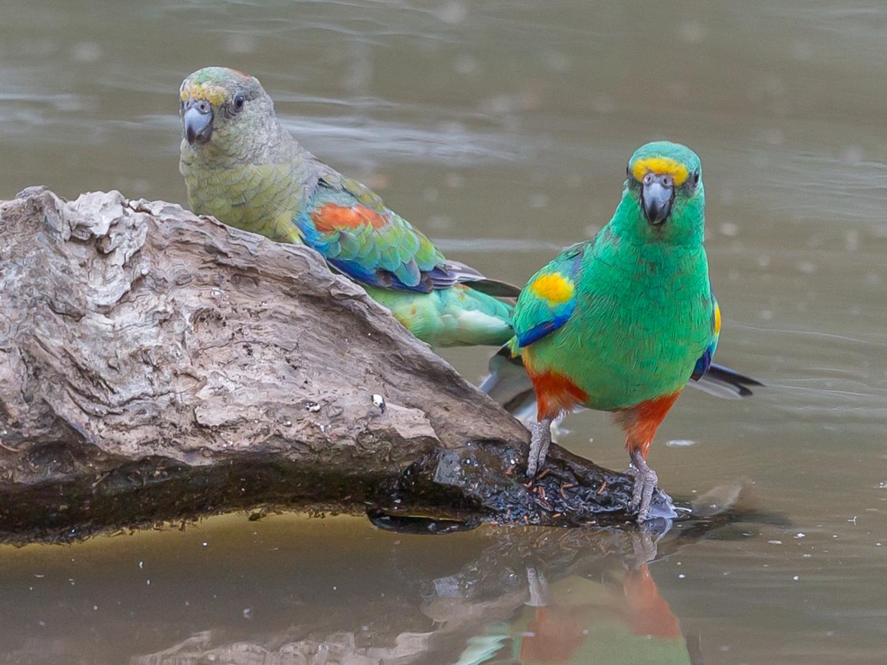 Mulga Parrot (Image ID 33725)