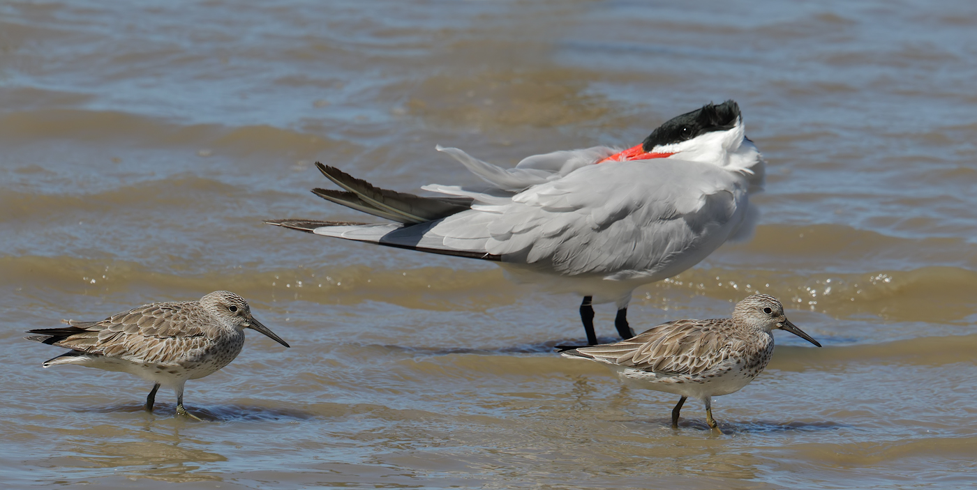 Caspian Tern, Great Knot