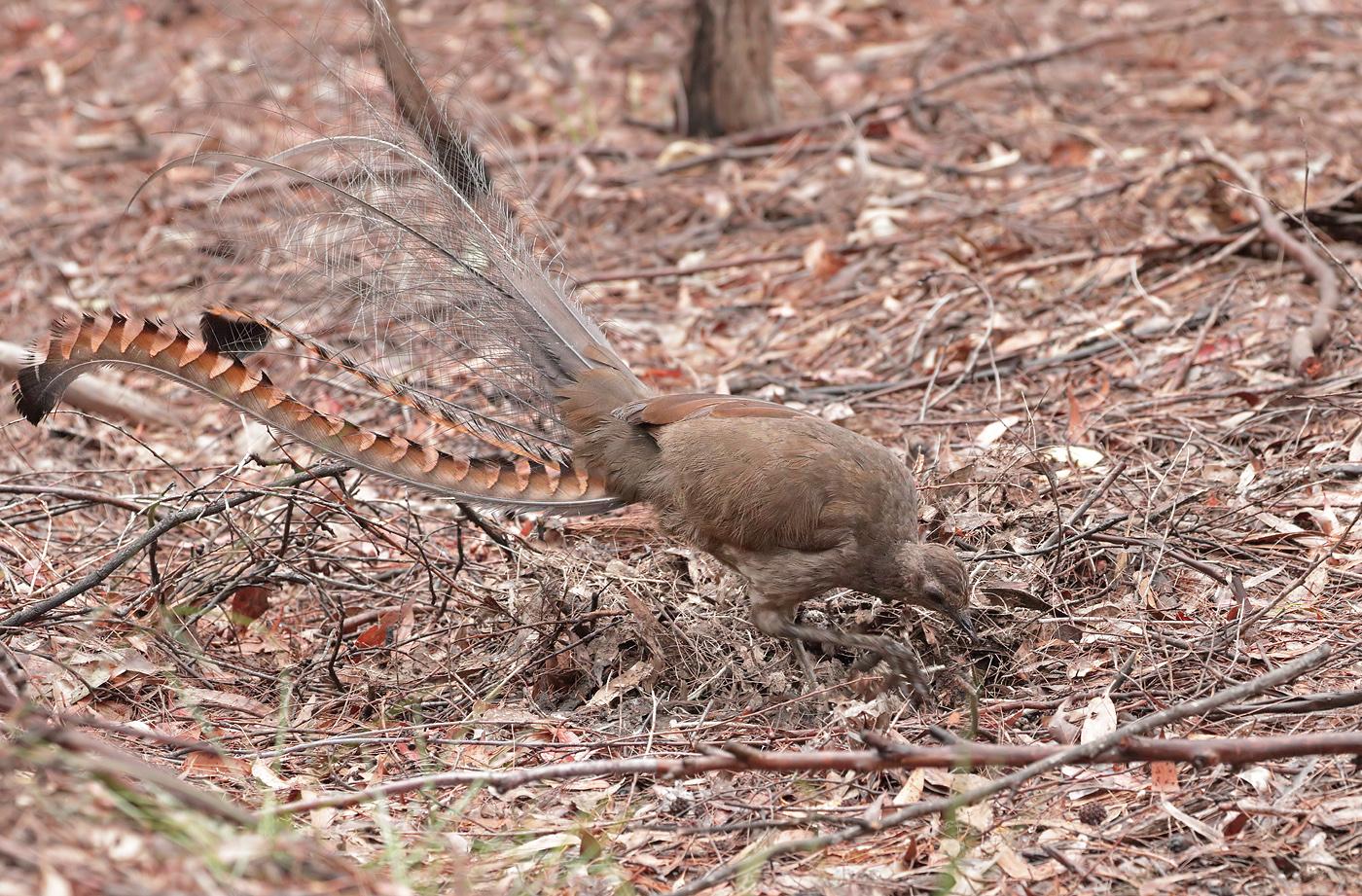 Superb Lyrebird (Image ID 33752)