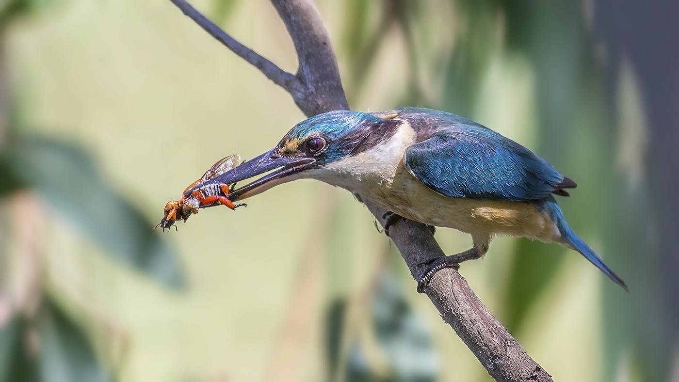 Sacred Kingfisher (Image ID 33888)