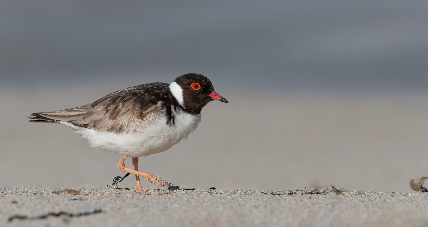 Hooded Plover (Image ID 33410)
