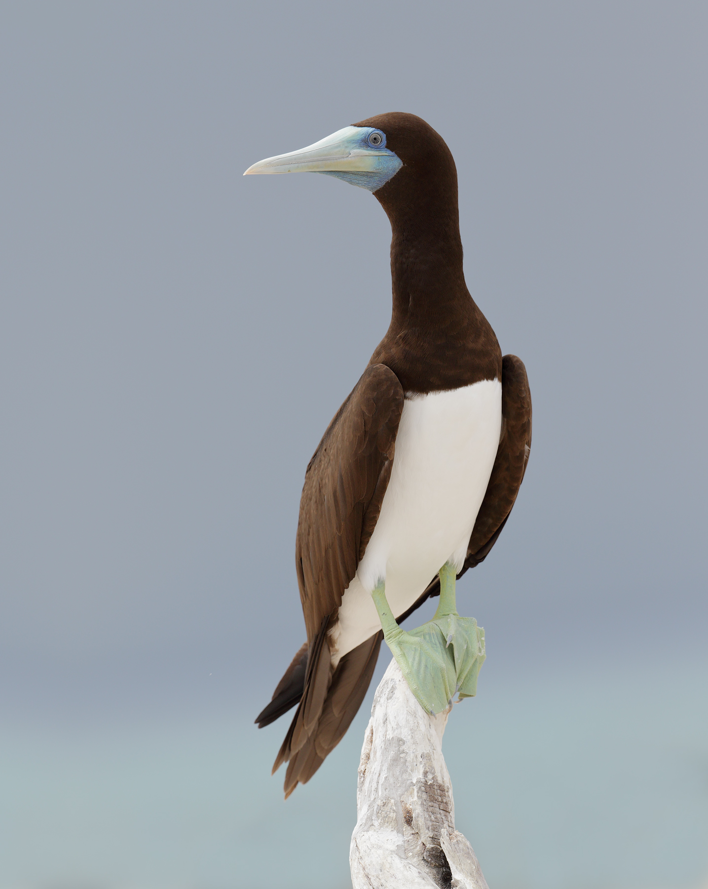 Brown Booby (Image ID 33751)