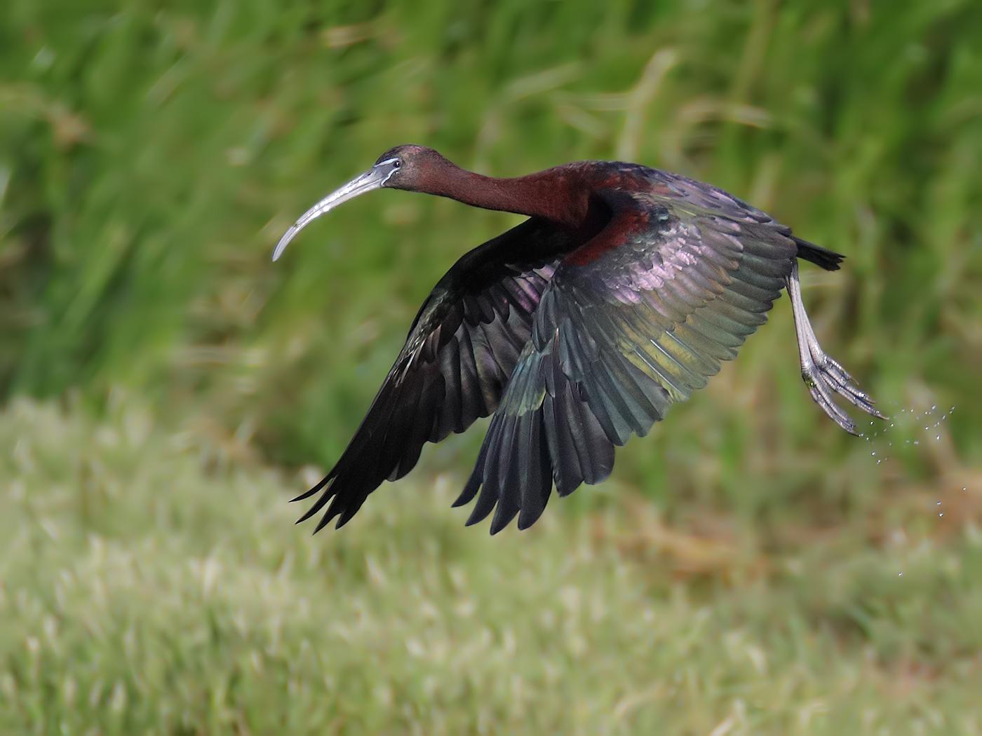 Glossy Ibis (Image ID 33873)