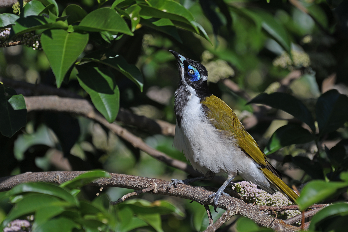 Blue-faced Honeyeater (Image ID 33423)