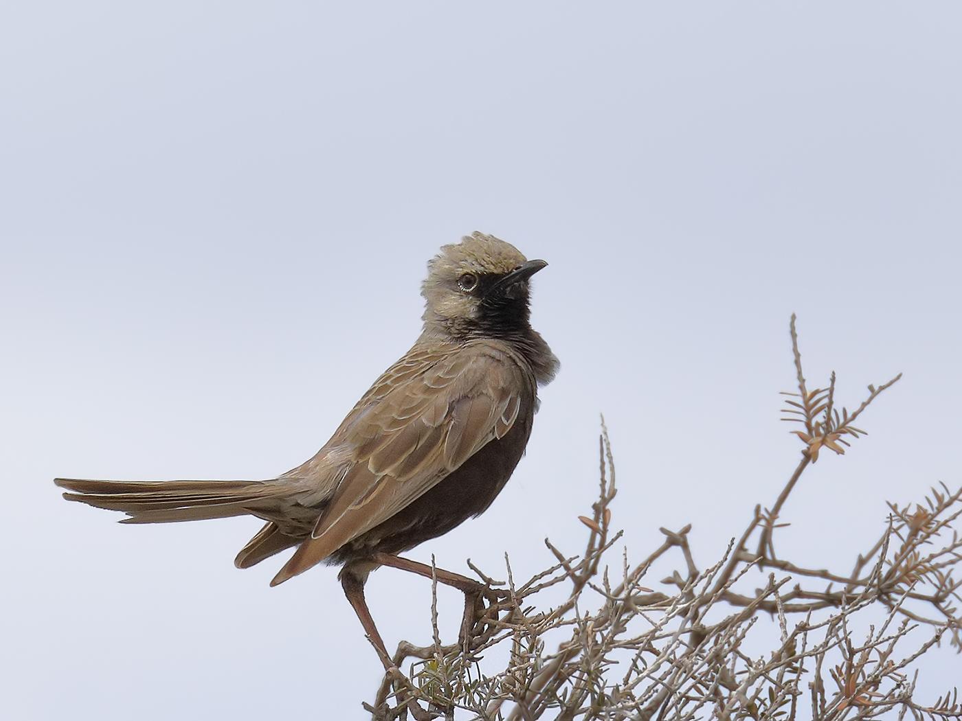 Brown Songlark (Image ID 33874)
