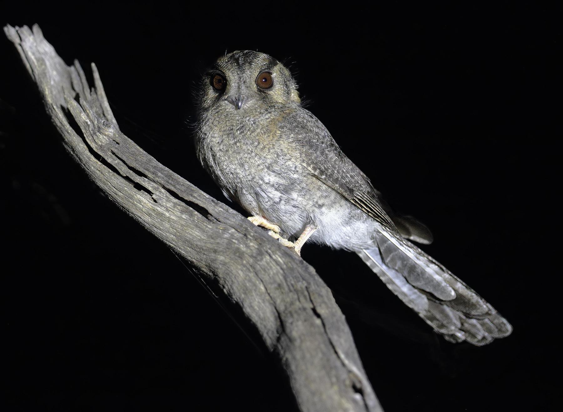Australian Owlet-nightjar (Image ID 33750)