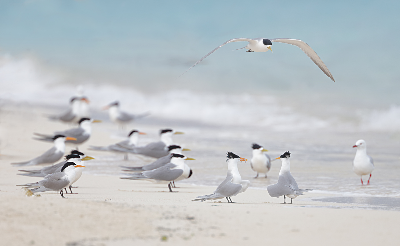 Crested Tern, Lesser Crested Tern (Image ID 33320)