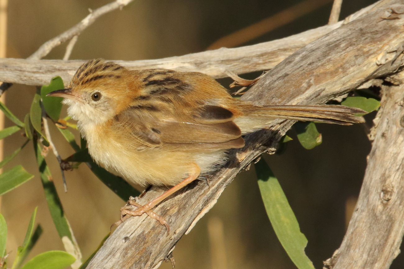 Golden-headed Cisticola (Image ID 33773)