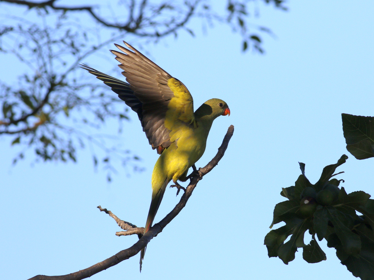 Regent Parrot (Image ID 33649)