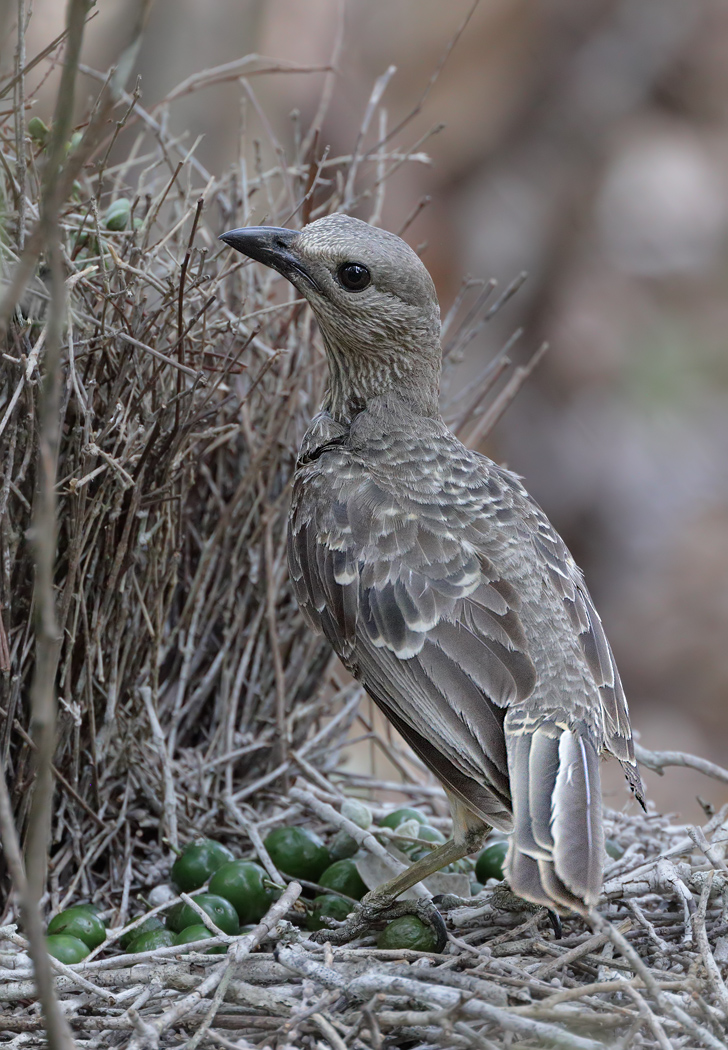 Fawn-breasted Bowerbird