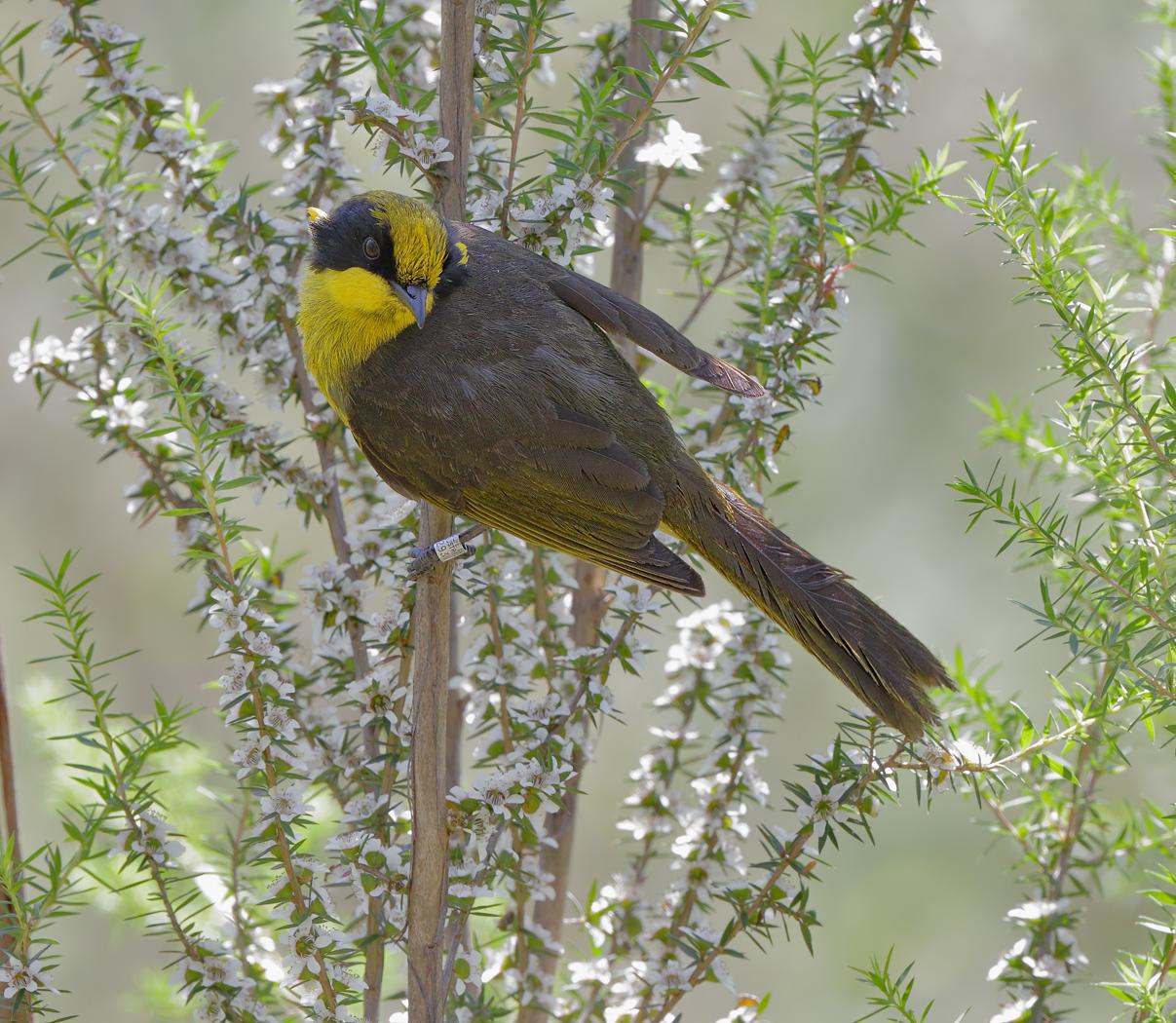 Yellow-tufted Honeyeater (Image ID 33289)