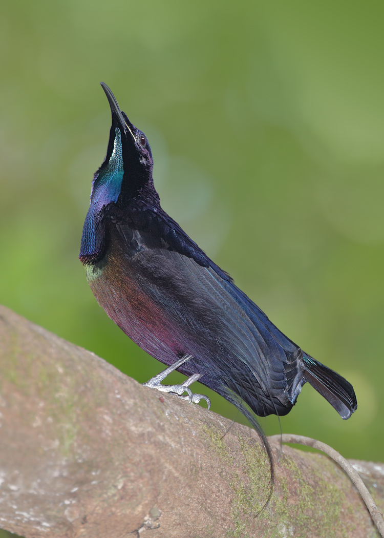 Magnificent Riflebird (Image ID 33463)