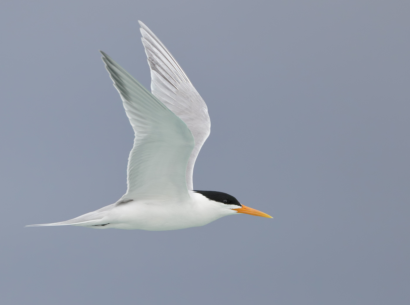 Lesser Crested Tern (Image ID 33323)