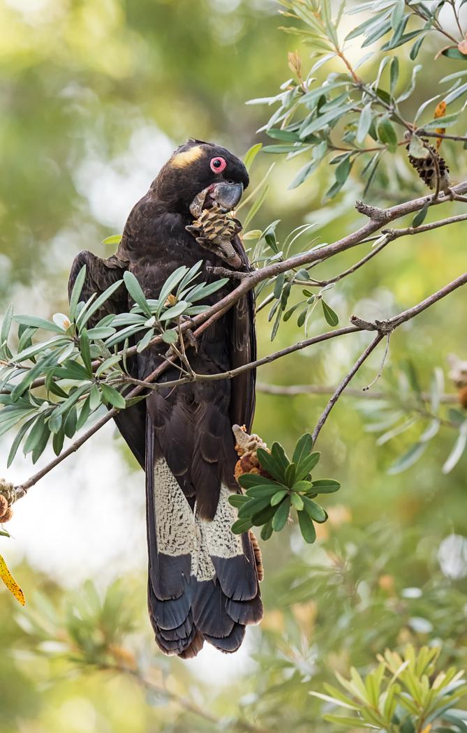 Yellow-tailed Black-Cockatoo (Image ID 33710)
