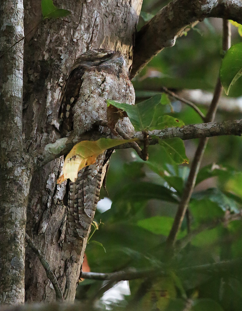Papuan Frogmouth (Image ID 33742)