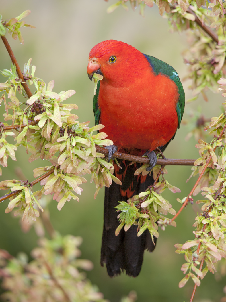 Australian King-Parrot (Image ID 33280)