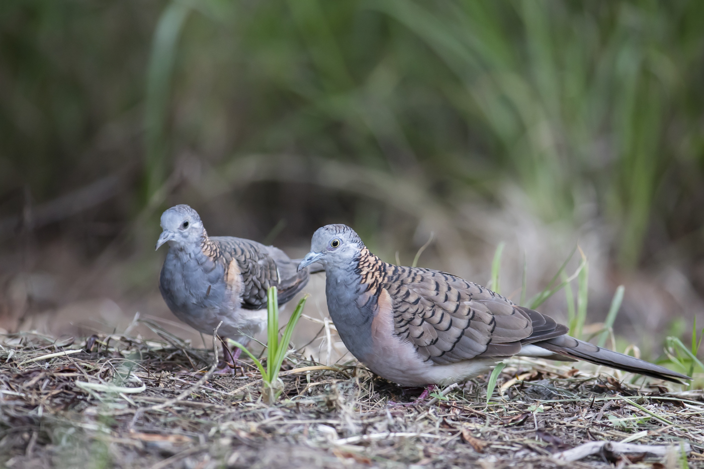 Bar-shouldered Dove (Image ID 33638)