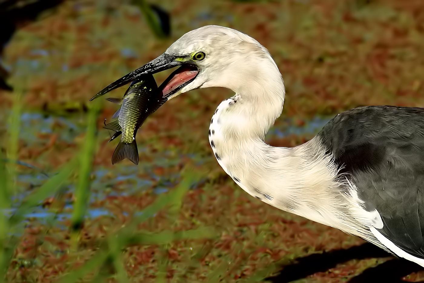 White-necked Heron (Image ID 33893)