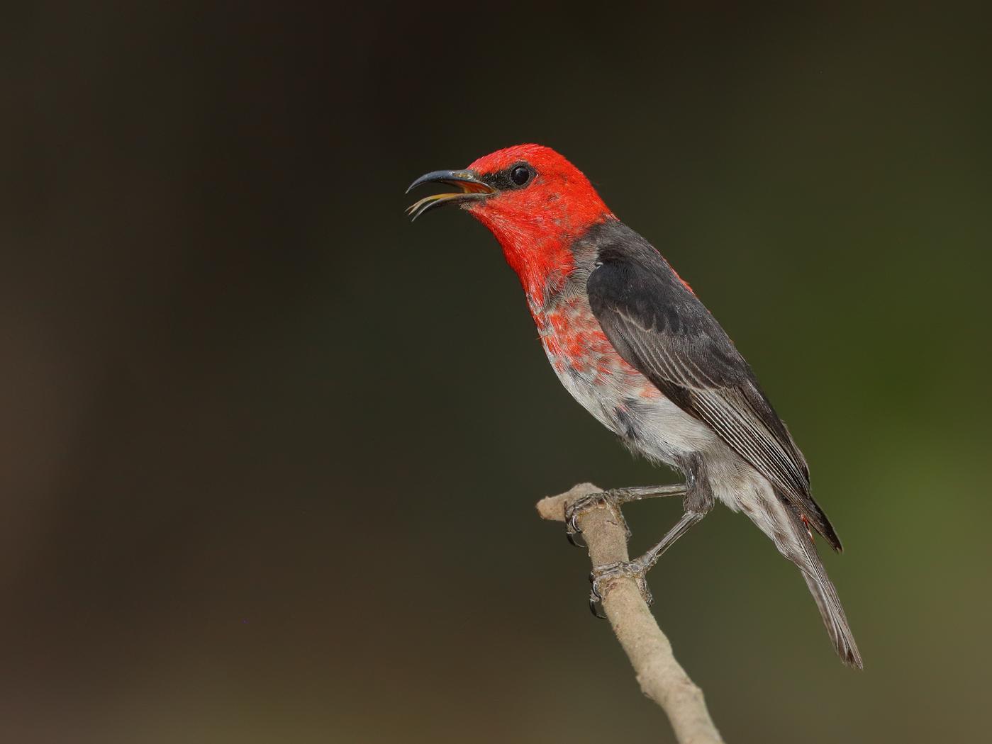 Scarlet Honeyeater (Image ID 33573)