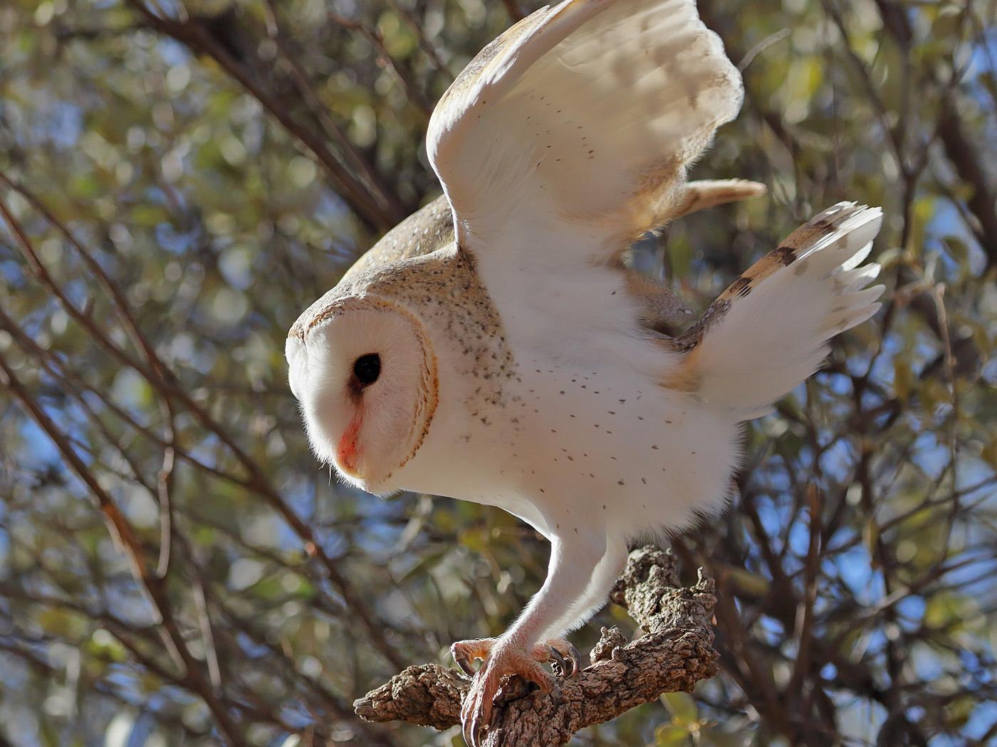 Barn Owl (Image ID 33571)