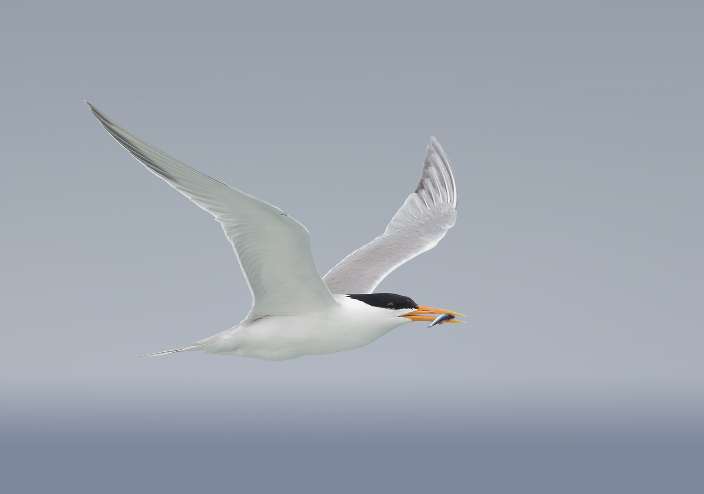 Lesser Crested Tern (Image ID 33322)