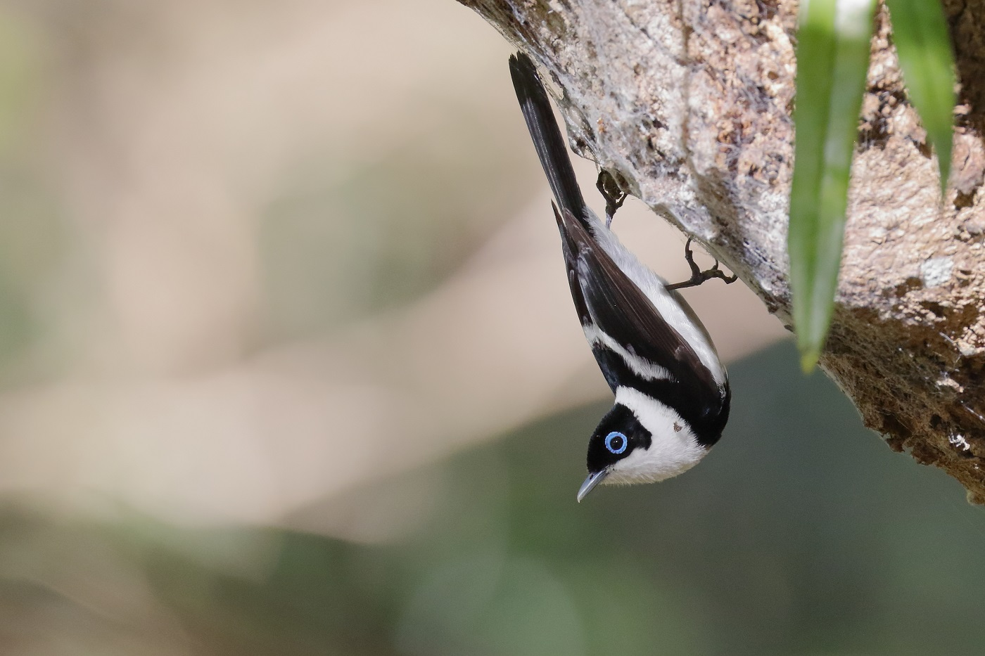 Pied Monarch (Image ID 33647)