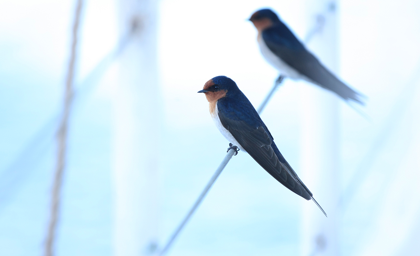 Welcome Swallow (Image ID 33549)
