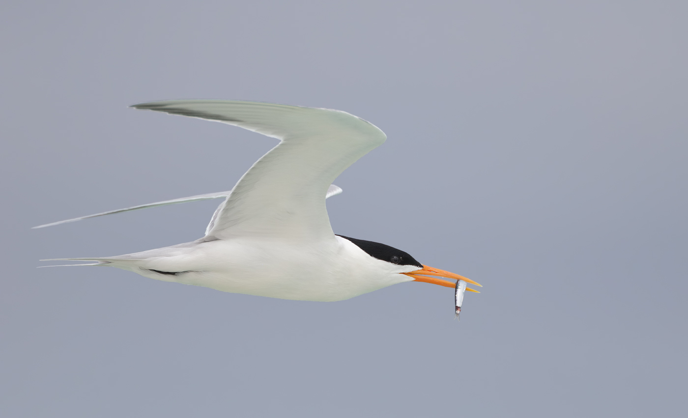 Lesser Crested Tern (Image ID 33321)