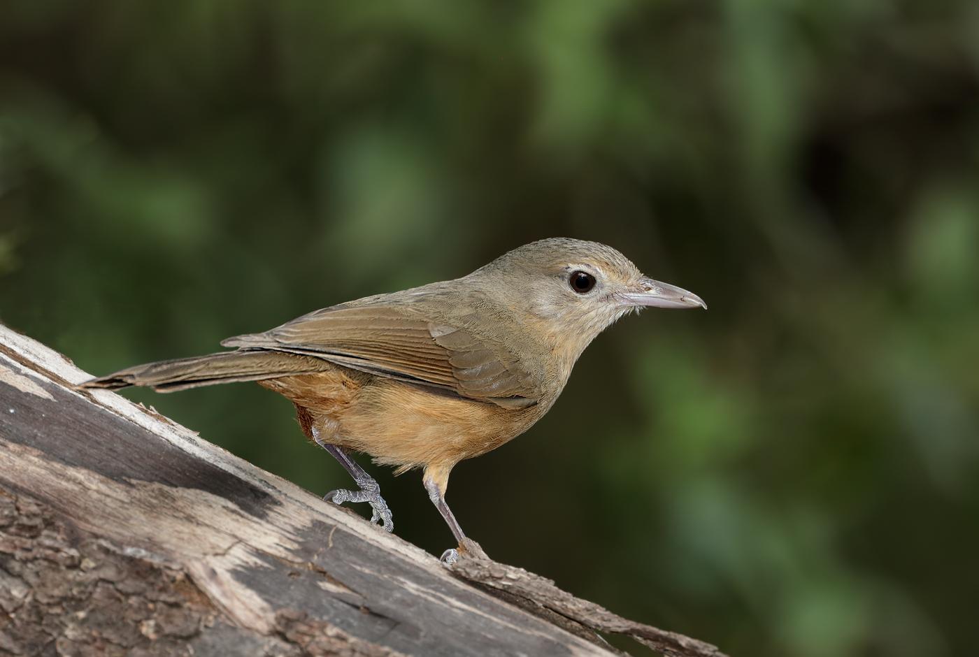 Little Shrike-thrush (Image ID 33662)