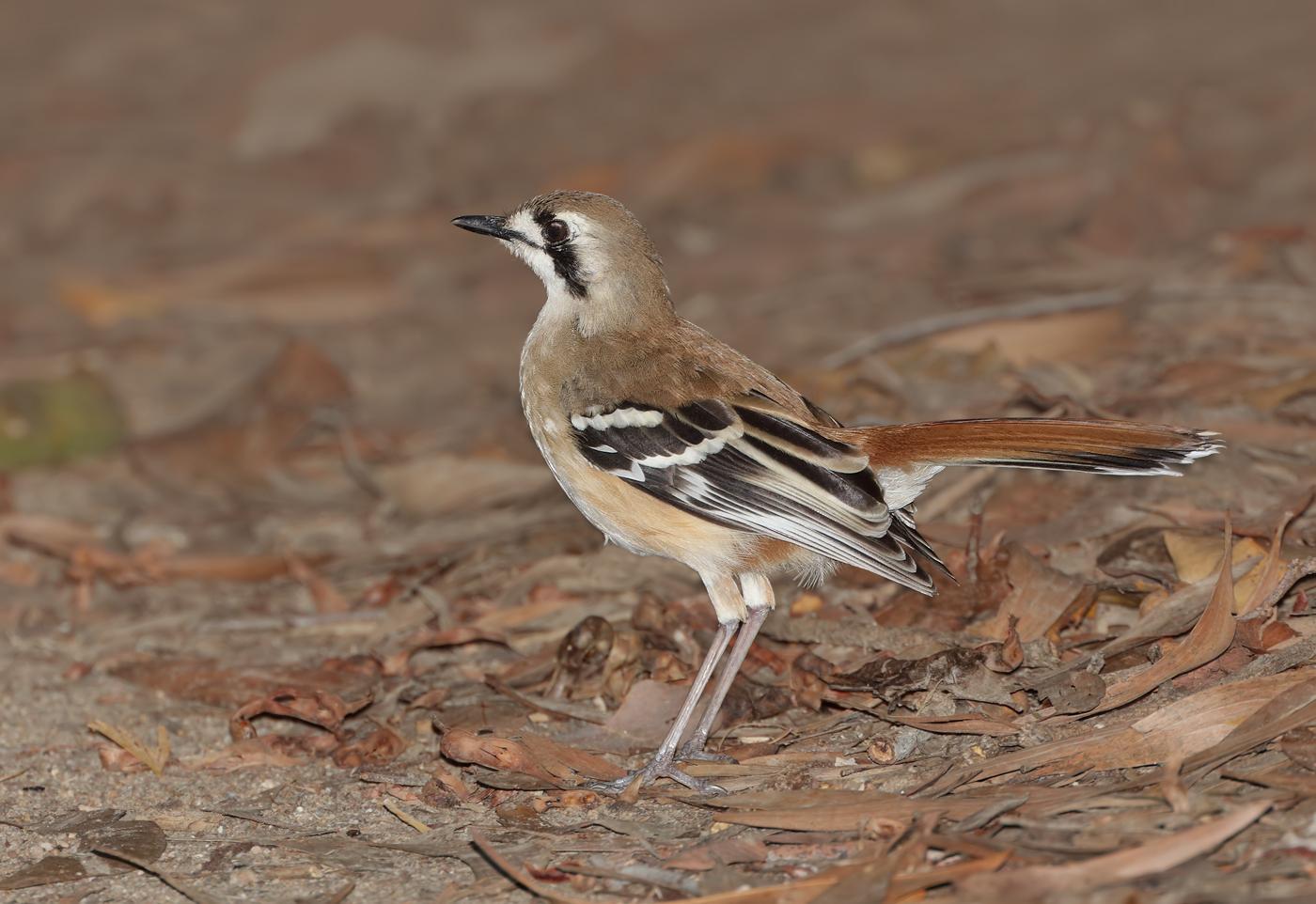 Northern Scrub-robin (Image ID 33736)
