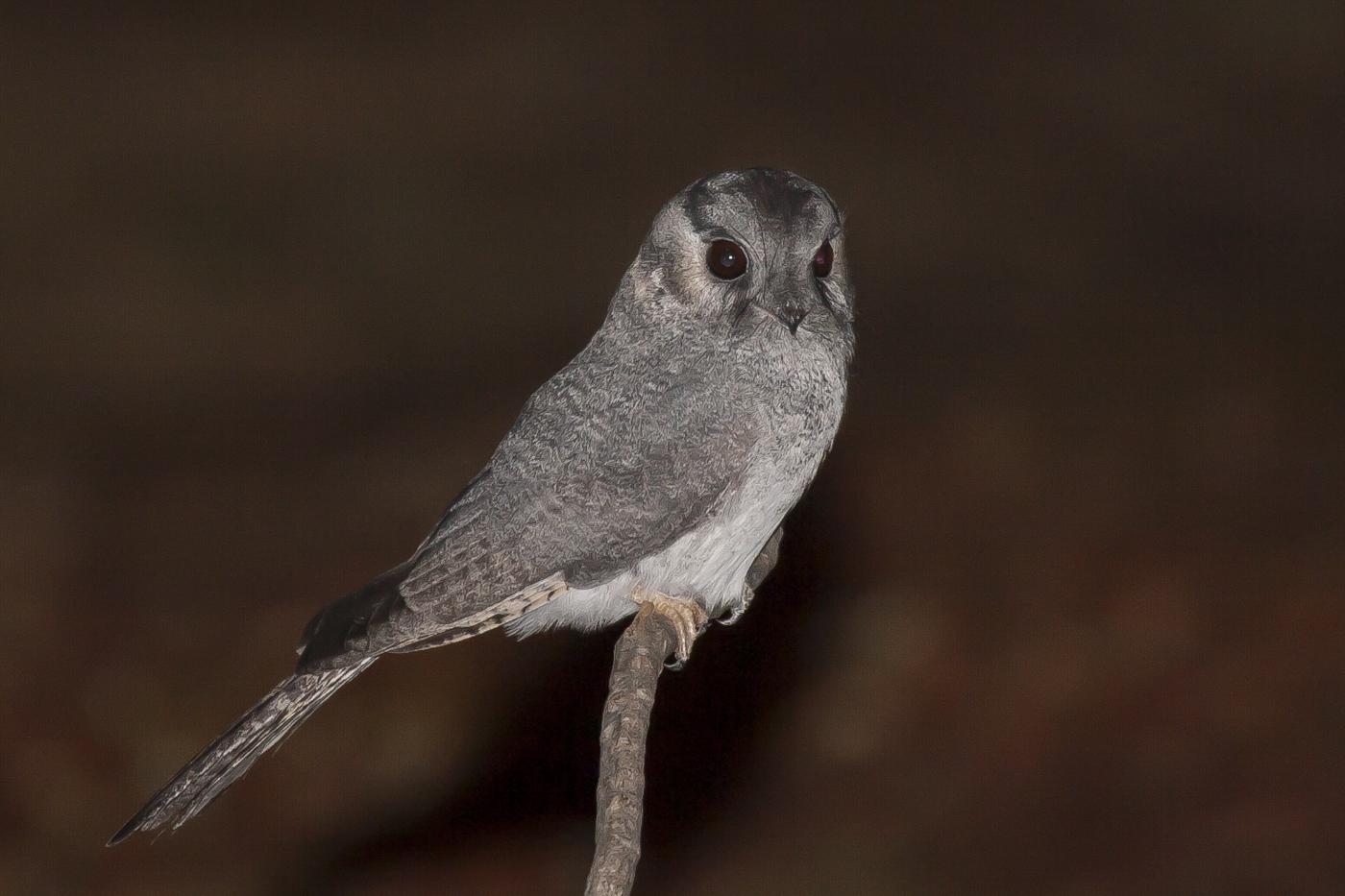 Australian Owlet-nightjar (Image ID 33731)