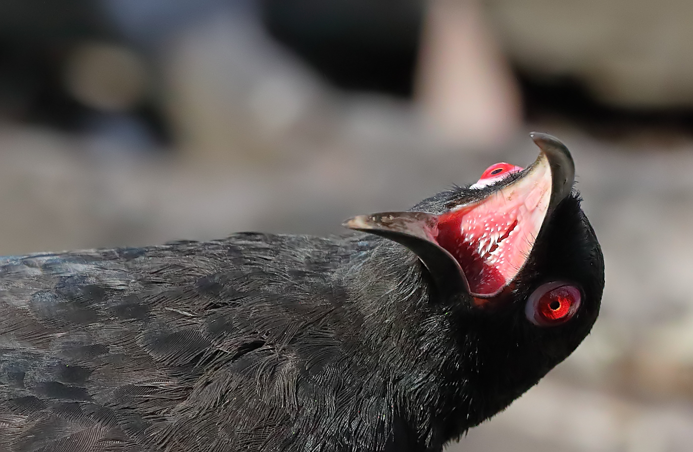 White-winged Chough (Image ID 33278)