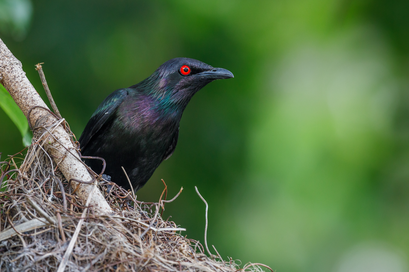 Metallic Starling (Image ID 33814)