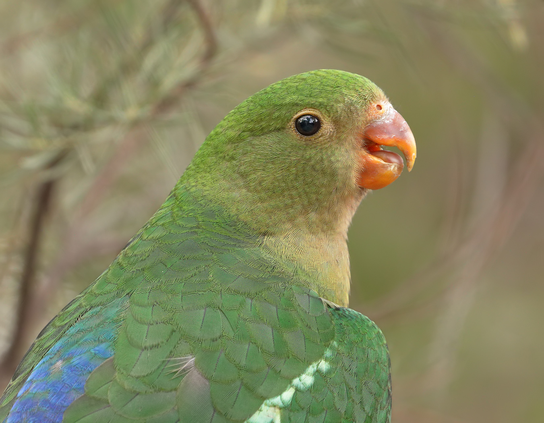Australian King-Parrot (Image ID 33825)