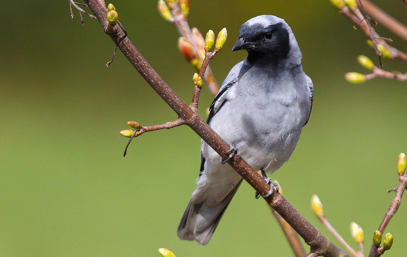 Black-faced Cuckoo-shrike (Image ID 33653)