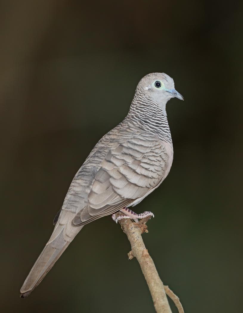 Peaceful Dove (Image ID 33641)