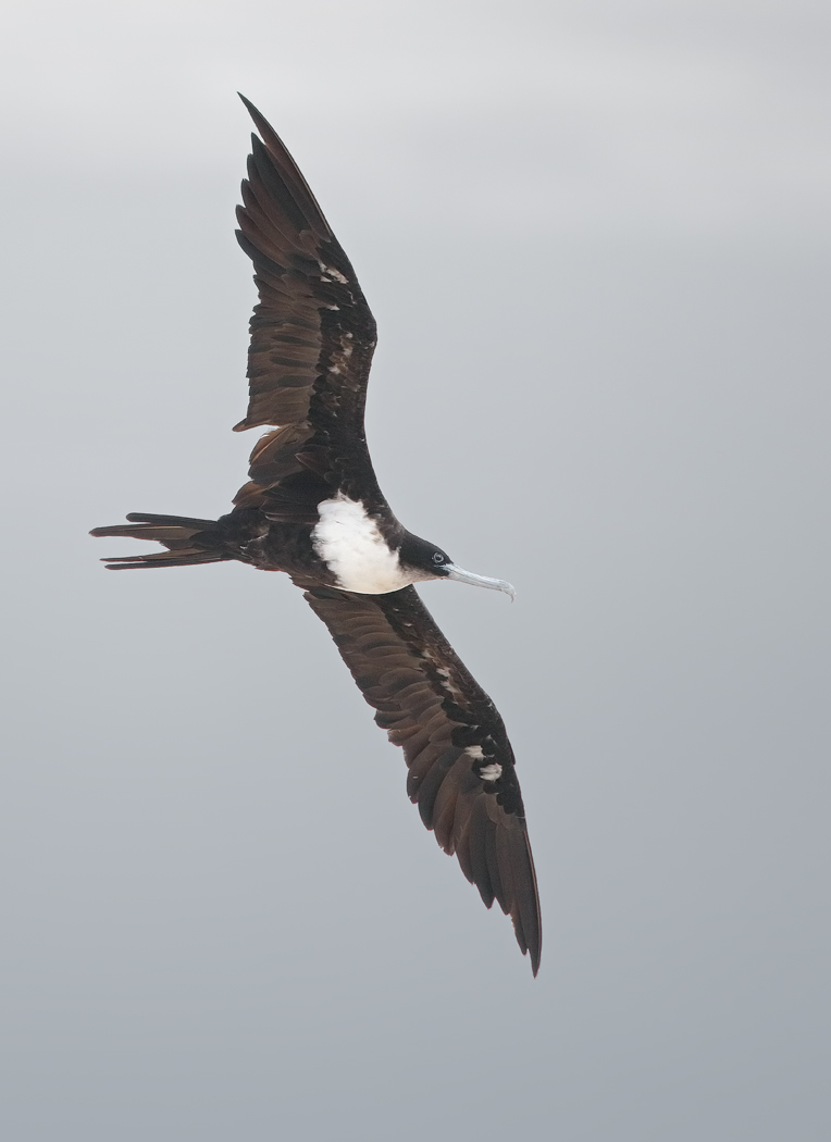 Great Frigatebird (Image ID 33335)