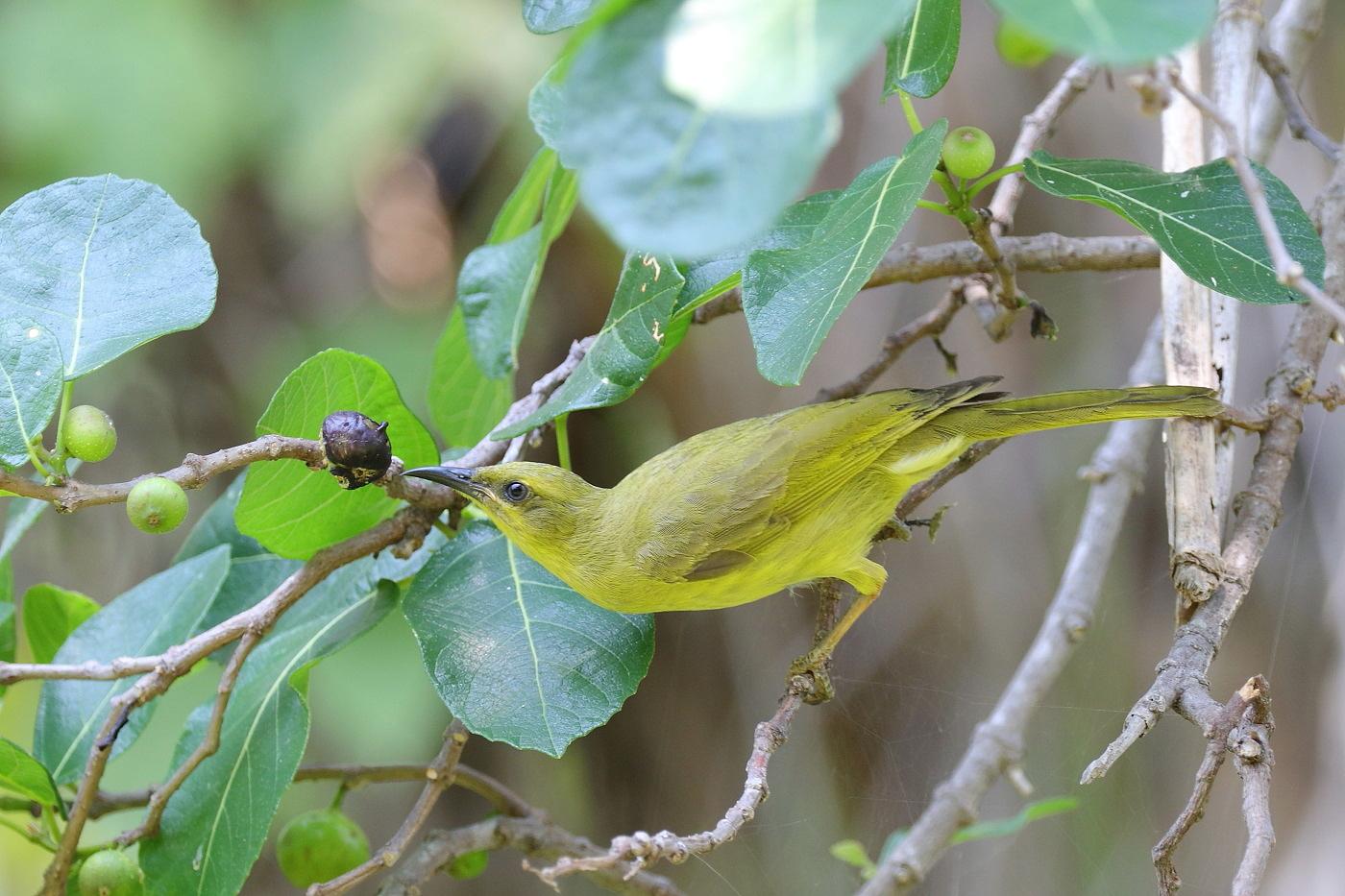 Yellow Honeyeater (Image ID 33298)