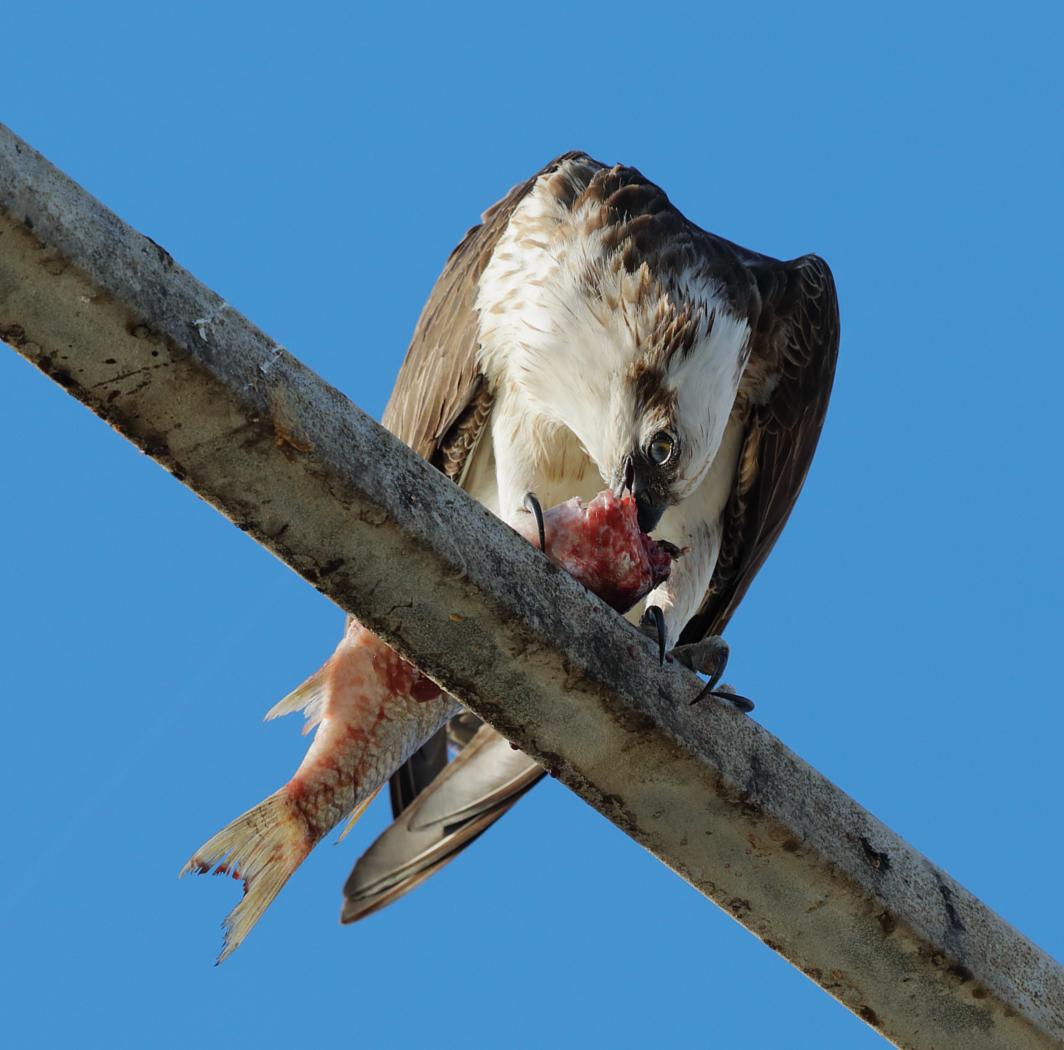 Osprey (Image ID 33801)